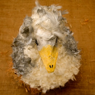 See what Alberta the Albatross has had for dinner...